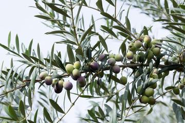 Autocollant pour porte Oliviers aceitunas madurando en el olivo