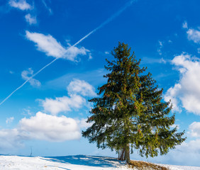spruce tree on hillside on fine winter weather. beautiful nature scenery under blue sky with some clouds