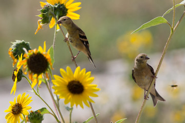 two birds perched on sunflower stalks