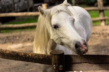 muzzle of white horse