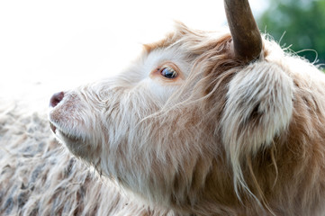Closeup portrait of beautiful highland scottish hairy creamy cow