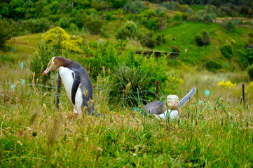 Male & female Yellow Eyed Penguins in preserve, New Zealand
