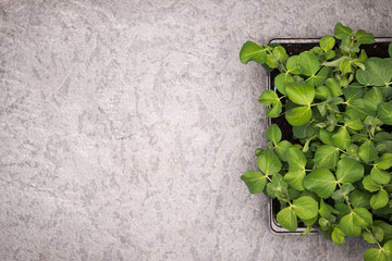 Sweet pea plant leaves in pot on rustic background. Healthy eating concept. Top view.