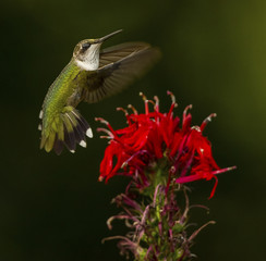 Ruby-throated Hummingbird with Cardinal Flower