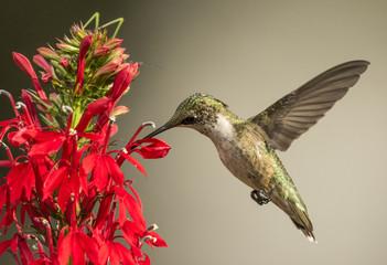 Printed roller blinds Bird Ruby-throated Hummingbird with Cardinal Flower