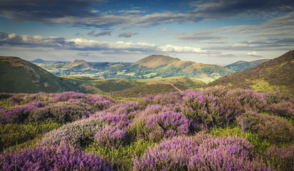 Tuinposter Heuvel Upland Heathland Landscape at Summer Bloom