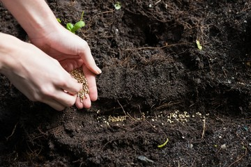 Hand of woman sowing seeds in soil