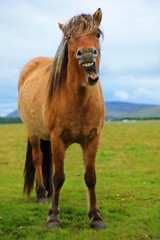 Icelandic horse with a sense of humor
