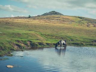 Wild pony on the moor