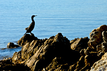 cormorant on the rocks in the middle of the sea