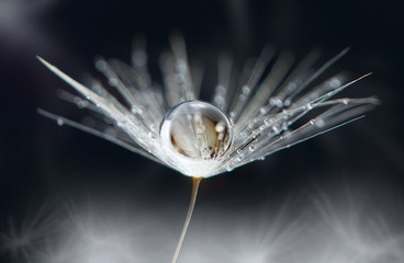 Transparent drop of water on a dandelion flower on a dark macro background. Bright expressive graceful delightful beautiful airy artistic image of nature.