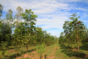 beautiful blue sky and mahogany tree view green environment landscape natural outdoor background
