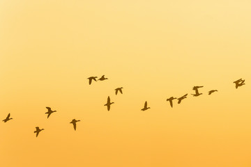 Flock of geese flying in the sunrise in the sky