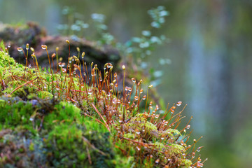 Moss with dewdrops growing in the forest