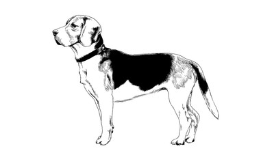 dog drawn with ink on white background in full length