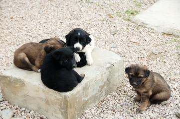 Aidi Breed Puppies - Morocco