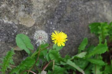タンポポ(花と綿毛)