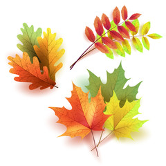 Autumn leaves set, isolated on white background. Rowan tree, oak