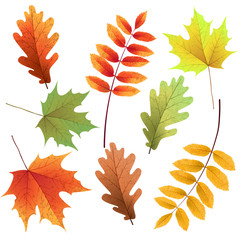 Autumn leaves set, isolated on white background. Rowan tree, oak