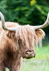 Closeup portrait of beautiful highland scottish hairy red cow