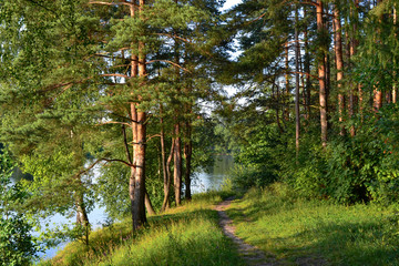 A path in a pine forest. Sunlight between the trees. Summer. Russia.