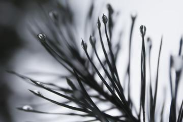 Tiny water drops on pine tree branch in forest near Helsinki Finland