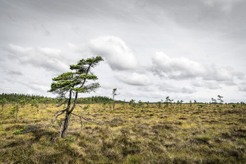 Lonely pine tree on a prairie in the north