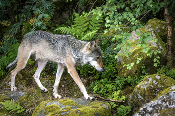 Grey wolf in a nordic forest