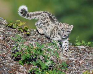 Snow Leopard Kitten descending rocky surface in the woods