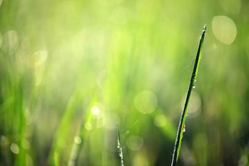 Wall Mural - bokeh of morning dew drop on green grass