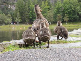 Enten Küken folgen der Mutter