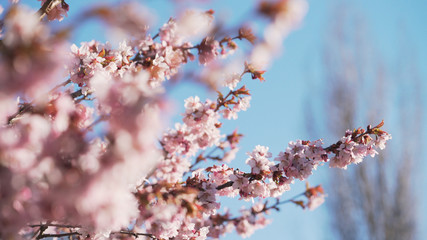 beautiful sakura cherry tree blossom against blue sky