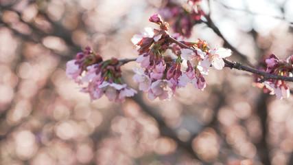 beautiful sakura cherry tree blossom