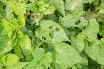 虫に食べられた葉