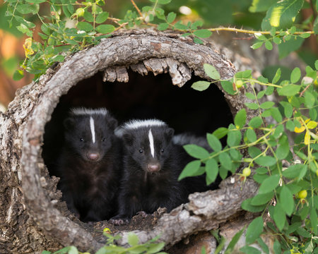 Two skunks peeking out of an empty tree stump