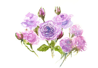 Purple roses on white background,watercolor painted on paper