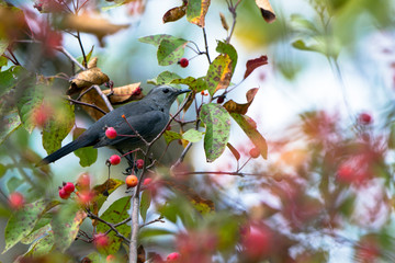Gray Catbird amid autumn leaves and red berries in Wisconsin