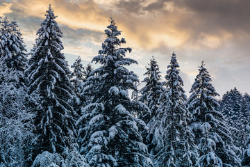 snowy spruce forest under evening sky. gorgeous nature background