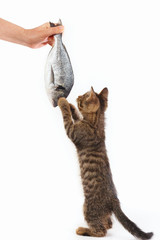 Pretty kitten looking at dorado fish which gives it a woman's hand on a white background