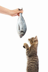 Cute kitten looking at dorado fish which gives it a woman's hand on a white background