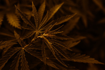 gold marijuana  background. bush cannabis.