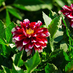 Fototapete - Red dahlia on flower bed at summer park.