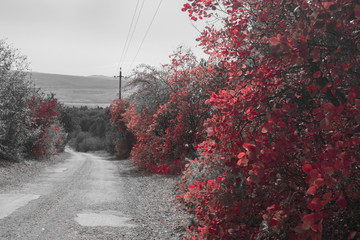 Shrubs with red leaves   / Shrubs with red leaves along the country road