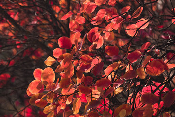 Red leaves in sunlight / Red and golden leaves in sunlight