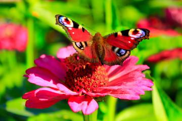 butterfly peacock eye on the zinnia