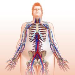 Male circulatory system, illustration
