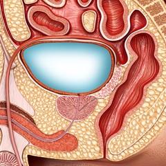 Full male bladder, illustration