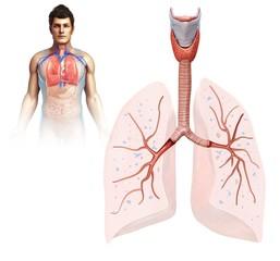 Male lung anatomy, illustration