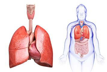 Illustration of man's heart and lungs against a white background