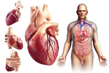 Illustration of a man's heart against a white background